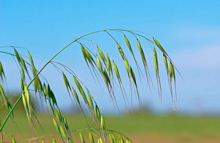 Grains In a Field
