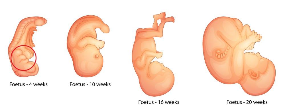 image of Fetus Development