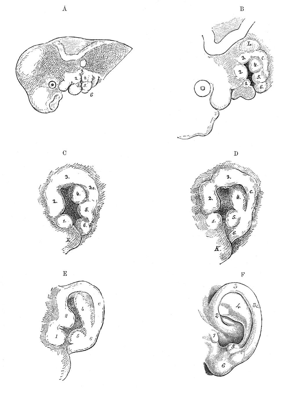 Ear Development Diagram