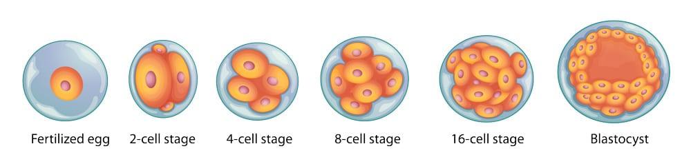 image of human embryo
